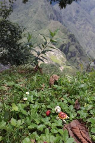 on a trouvé des fraises en haut du Wayna Picchu