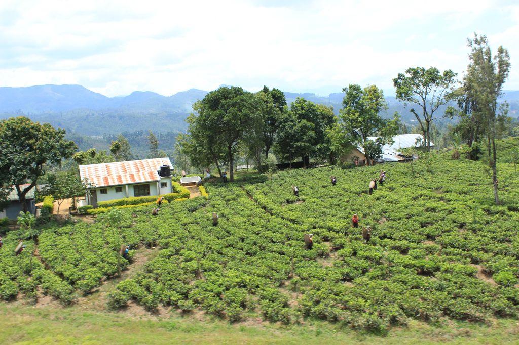 plantations de thé: vues du train