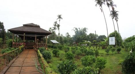 plantation thé