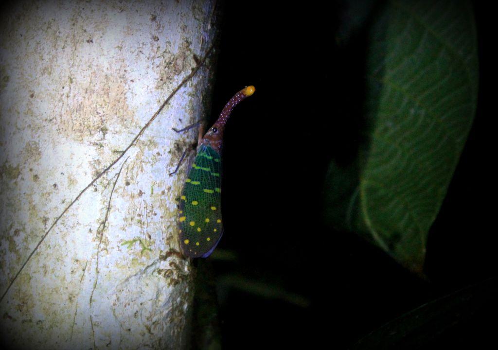 l'insecte le plus mignon du monde: lantern bug!