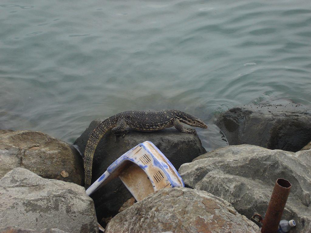 un varan sur la jetée à Sandakan
