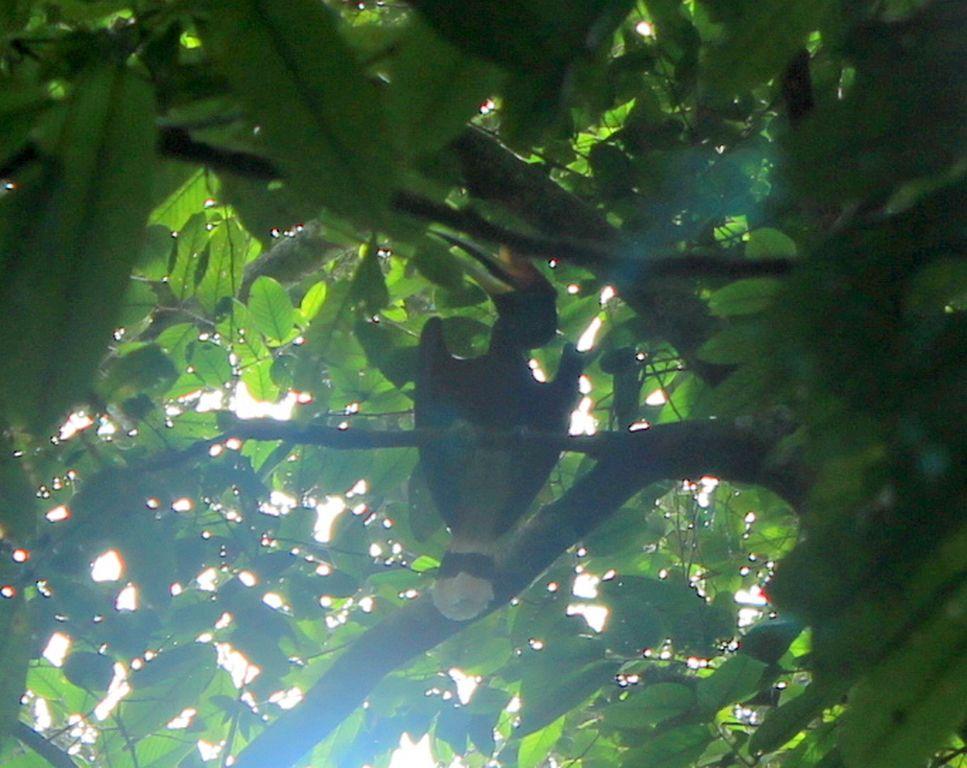 Rhinocéros hornbill
