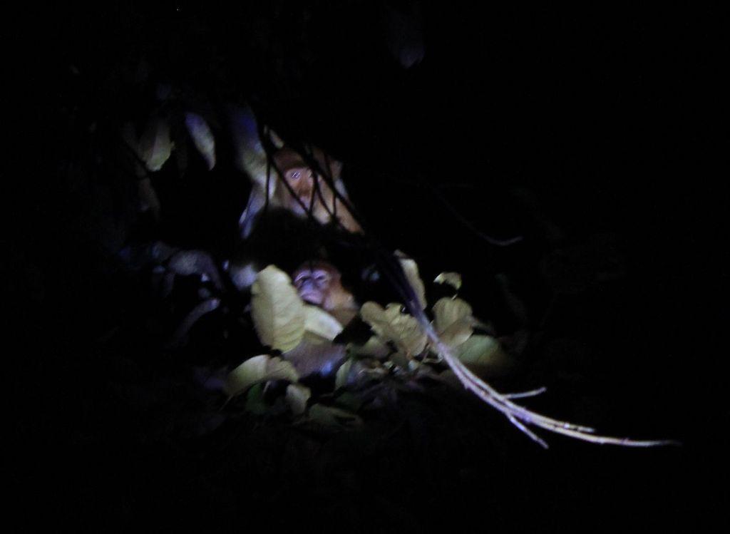 un nasique dort dans les branches
