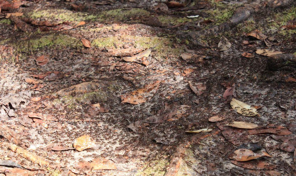 des fourmis de feu (beaucoup!)