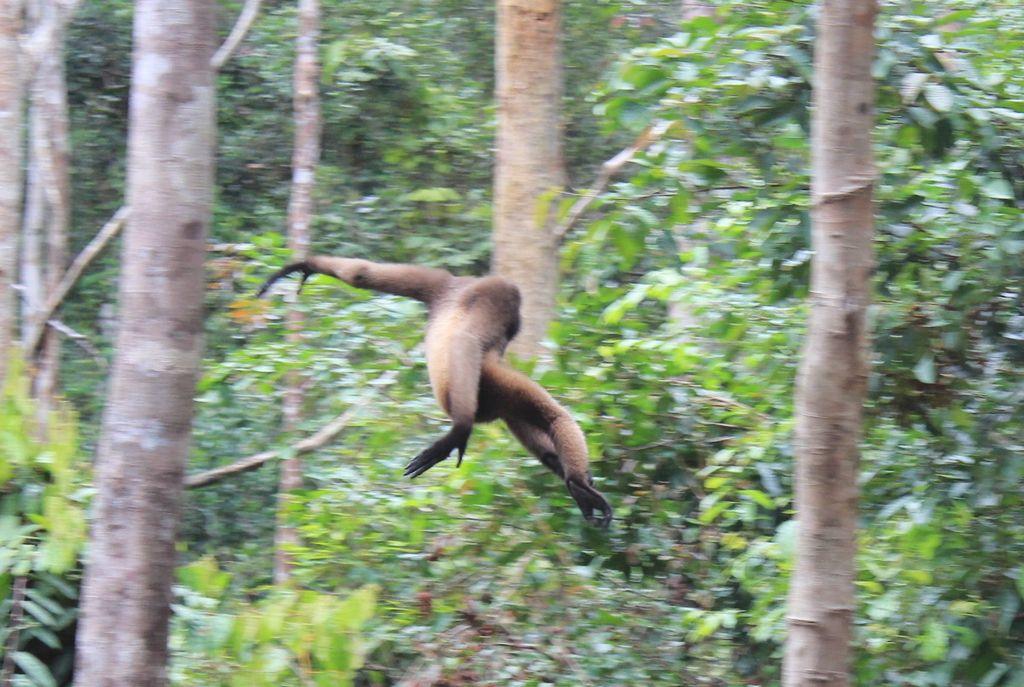 gibbon volant!