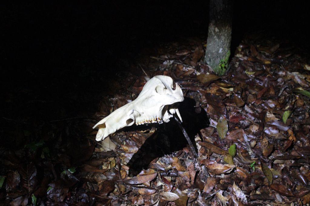 crane de cochon lors de la balade de nuit