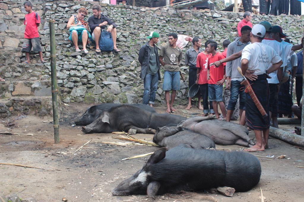 cochons prêts pour le sacrifice: orientés devant la maison
