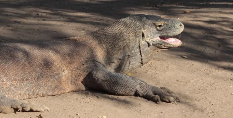 Komodo: des raies mantas et des dragons (Ep.2)