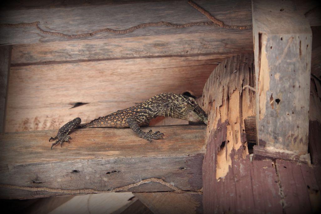 bébé dragon de Komodo